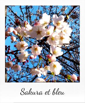 Sakura_et_bleu